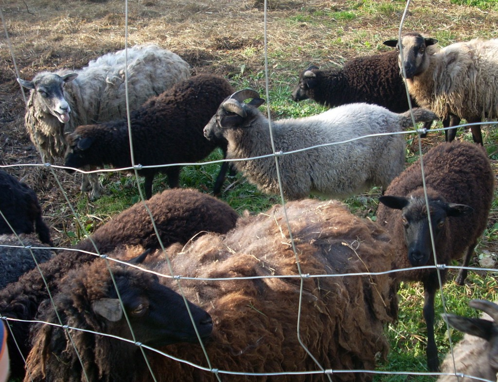 Owce z bliska