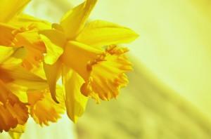 daffodils-1257105_640